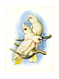 Goffin's Cockatoo no. 121 Posters