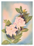 Hawaiian Gardenia (Nanu) Prints by Ted Mundorff