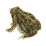 Fowler's Toad (Bufo Fowleri), Amphibians Poster by  Encyclopaedia Britannica