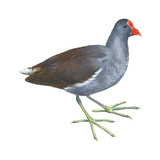 Florida Gallinule (Gallinula Chloropus), Birds Prints by  Encyclopaedia Britannica