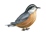 Red-Breasted Nuthatch (Sitta Canadensis), Birds Reproduction sur métal par  Encyclopaedia Britannica