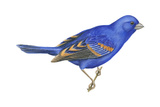 Blue Grosbeak (Passerina Caerulea), Birds Reproduction sur métal par  Encyclopaedia Britannica