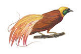 Greater Bird-Of-Paradise (Paradisaea Apoda), Birds Photographie par  Encyclopaedia Britannica