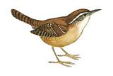 Carolina Wren (Thryothorus Ludovicianus), Birds Poster van  Encyclopaedia Britannica