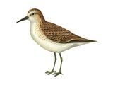 Semipalmated Sandpiper (Calidris Pusilla), Birds Posters by  Encyclopaedia Britannica