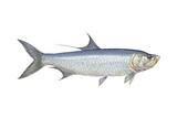 Atlantic Tarpon (Megalops Atlantica), Fishes Prints by  Encyclopaedia Britannica