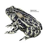Dakota Toad (Bufo Hemiophrys), Amphibians Posters
