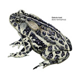Dakota Toad (Bufo Hemiophrys), Amphibians Posters by  Encyclopaedia Britannica