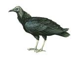 Black Vulture (Coragyps Atratus), Birds Posters par  Encyclopaedia Britannica