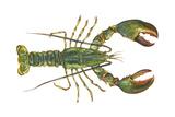 American Lobster (Homarus Americanus), Crustaceans Poster by  Encyclopaedia Britannica