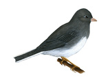 Slate-Colored Junco (Junco Hyemalis), Birds Posters by  Encyclopaedia Britannica