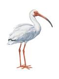White Ibis (Eudocimus Albus), Birds Affiche