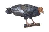 California Condor (Gymnogyps Californianus), Birds Affiches