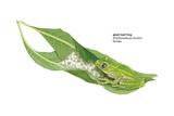 Giant Leaf Frog (Phyllomedusa Bicolor), Amphibians Posters