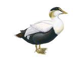 Common Eider (Somateria Mollissima), Duck, Birds Stretched Canvas Print by  Encyclopaedia Britannica