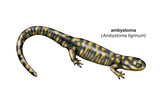 Ambystoma (Ambystoma Tigrinum), Amphibians Posters by  Encyclopaedia Britannica