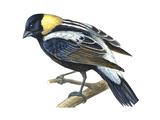Bobolink (Dolochonyx Oryzivorus), Birds Reproduction sur métal par  Encyclopaedia Britannica