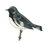 Black-Throated Blue Warbler (Dendroica Caerulescens), Birds Posters by  Encyclopaedia Britannica