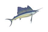 Atlantic Sailfish (Istiophorus Platypterus), Fishes Pôsteres por  Encyclopaedia Britannica