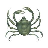 Kelp Crab (Pugettia Producta), Crustaceans Plakater af Encyclopaedia Britannica