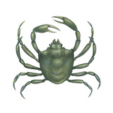 Kelp Crab (Pugettia Producta), Crustaceans Prints by  Encyclopaedia Britannica