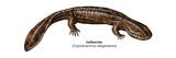 Hellbender (Cryptobranchus Alleganiensis), Amphibians Photo by  Encyclopaedia Britannica