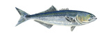 Bluefish (Pomatomus Saltatrix), Fishes Poster by  Encyclopaedia Britannica