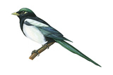 Yellow-Billed Magpie (Pica Nutalli), Birds Posters