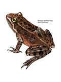 Oregon Spotted Frog (Rana Pretiosa), Amphibians Posters by  Encyclopaedia Britannica