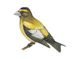 Evening Grosbeak (Coccothraustes Vespertinus), Birds Photo