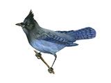 Steller's Jay (Cyanocitta Stelleri), Birds Poster