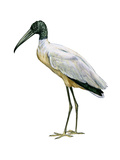 Wood Ibis (Mycteria Americana), Birds Prints by  Encyclopaedia Britannica