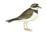 Ringed Plover (Charadrius Hiaticula), Birds Prints by  Encyclopaedia Britannica
