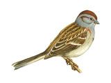 Tree Sparrow (Spizella Arborea), Birds Posters par  Encyclopaedia Britannica