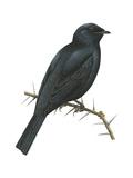 Cuckoo-Shrike (Campephaga), Birds Poster