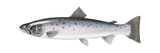 Atlantic Salmon (Salmo Salar), Fishes Poster van  Encyclopaedia Britannica