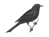 Brewer's Blackbird (Euphagus Cyanocephalus), Birds Affiche par  Encyclopaedia Britannica