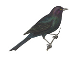 Brewer's Blackbird (Euphagus Cyanocephalus), Birds Print