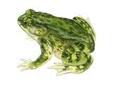 Green Toad (Bufo Debilis), Amphibians Posters