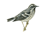 Black-And-White Warbler (Mniotilta Varia), Birds Affiche par  Encyclopaedia Britannica