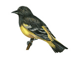 Scott's Oriole (Icterus Parisorum), Birds Prints by  Encyclopaedia Britannica