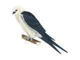 Swallow-Tailed Kite (Elanoides Forficatus), Birds Affiches par  Encyclopaedia Britannica
