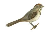 Brown Towhee (Pipilo Fuscus), Birds Photo
