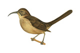California Thrasher (Toxostoma Redivivum), Birds Affiches