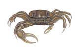 Marsh Fiddler Crab (Uca Pugnax), Crustaceans Plakater af Encyclopaedia Britannica