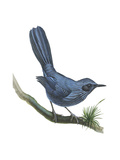 Blue Mockingbird (Melanotis Caerulescens), Birds Posters by  Encyclopaedia Britannica