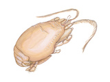 Mole Crab (Emerita Talpoida), Crustaceans Posters af Encyclopaedia Britannica