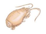 Mole Crab (Emerita Talpoida), Crustaceans Posters by  Encyclopaedia Britannica