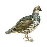 Scaled Quail (Callipepla Squamata), Birds Posters par  Encyclopaedia Britannica