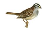 White-Throated Sparrow (Zonotrichia Albicollis), Birds Prints by  Encyclopaedia Britannica